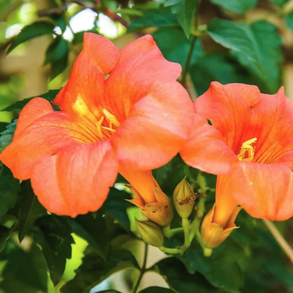 Autumn Flowers Morning Calm Trumpet Vine #Vines #FallBlooming #FallBloomingVines #VinesForPollinators #PollinatorVines #FallFlowers #Gardening #FallisForPlanting