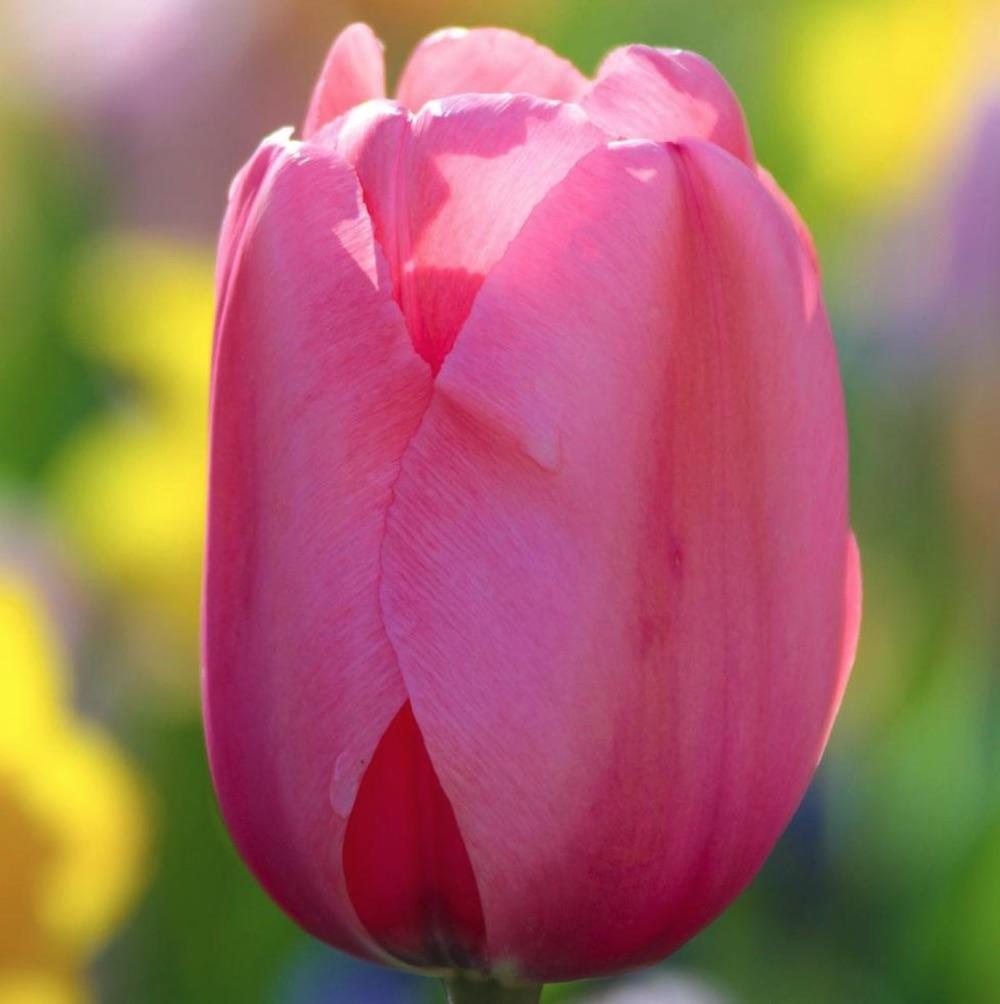 Spring Blooming Pink Tulips Pink Impression Tulip #Tulips #PinkTulips #SpringBlooming #SpringTulips #SpringFlowers #Tulips #SpringBulbs #FallPlanting #Gardening #FallisForPlanting