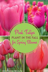 Pink Tulips Plant in the Fall for Spring Blooms #Tulips #PinkTulips #SpringBlooming #SpringTulips #SpringFlowers #Tulips #SpringBulbs #FallPlanting #Gardening #FallisForPlanting