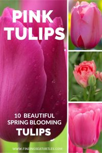 Pink tulips 10 Beautiful spring Blooming Tulips #Tulips #PinkTulips #SpringBlooming #SpringTulips #SpringFlowers #Tulips #SpringBulbs #FallPlanting #Gardening #FallisForPlanting