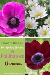 Plant in the Fall for Spring Blooms Pollinators Anemones #Anemone #SpringAnemone #SpringBlooming #SpringFlowers #FallPlanting #Gardening #FallisForPlanting