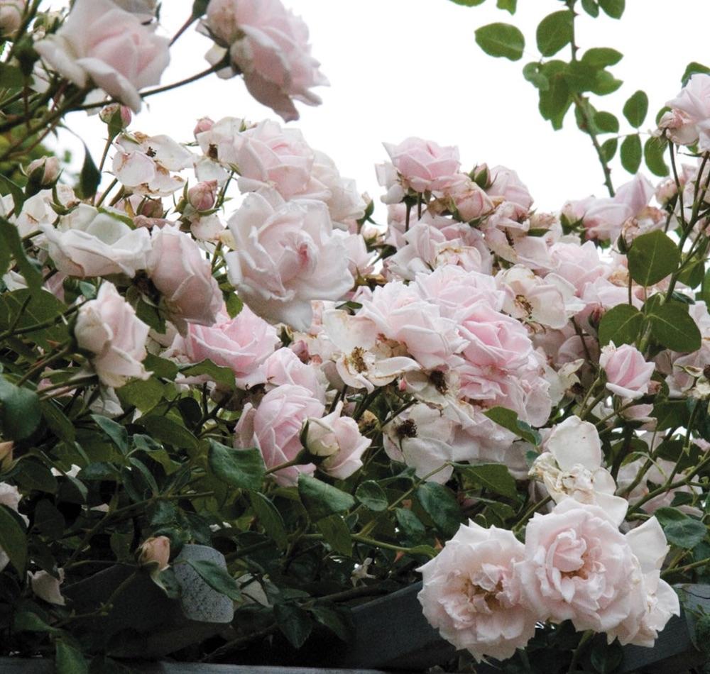 Fall Blooming Vines Rosa New Dawn #Vines #FallBlooming #FallBloomingVines #VinesForPollinators #PollinatorVines #FallFlowers #Gardening #FallisForPlanting