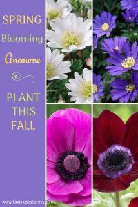 SPRING Blooming Anemone Plant This Fall #Anemone #SpringAnemone #SpringBlooming #SpringFlowers #FallPlanting #Gardening #FallisForPlanting