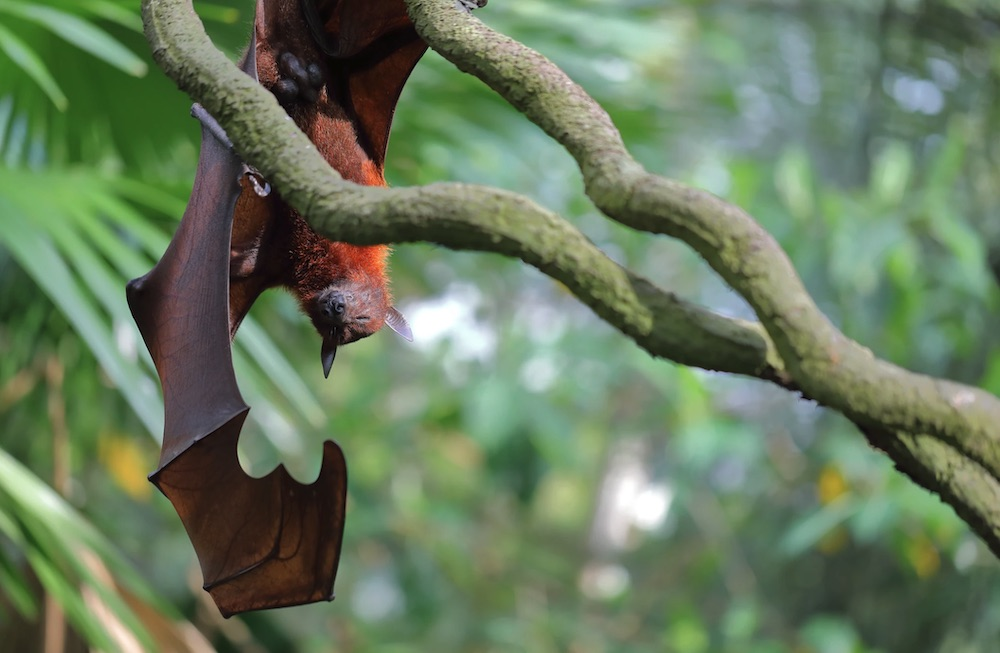 Invaluable to the Ecosystem Singapore Zoo, Singapore #Bats #BenefitsofBats #InsectControl #Pollinators #Gardening #SeedDispersal #OrganicGardening
