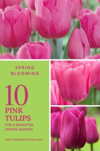 Spring Blooming 10 Pink Tulips for a brighter Spring Garden #Tulips #PinkTulips #SpringBlooming #SpringTulips #SpringFlowers #Tulips #SpringBulbs #FallPlanting #Gardening #FallisForPlanting