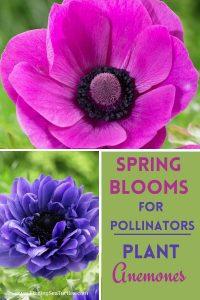 Spring Blooms for Pollinators Plant Anemones #Anemone #SpringAnemone #SpringBlooming #SpringFlowers #FallPlanting #Gardening #FallisForPlanting