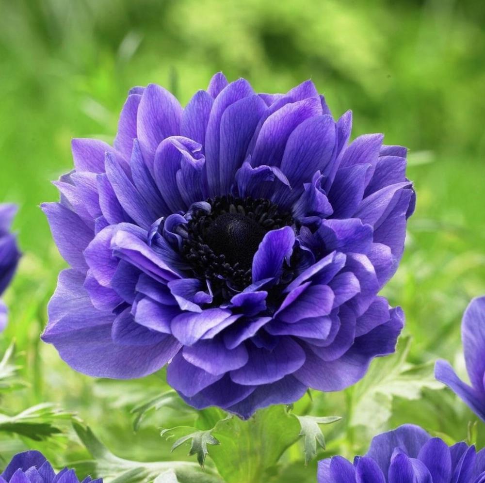 Loved by Pollinators St Brigid Lord Lieutenant Anemone #Anemone #SpringAnemone #SpringBlooming #SpringFlowers #FallPlanting #Gardening #FallisForPlanting