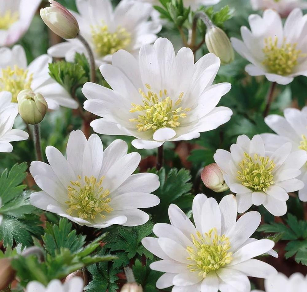 Spring Blooming Anemone White Splendour Anemone #Anemone #SpringAnemone #SpringBlooming #SpringFlowers #FallPlanting #Gardening #FallisForPlanting