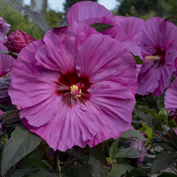 Grow Berry Awesome Hibiscus Berry Awesome Hibiscus #BeeFriendly #AttractsButterflies #Pollinators #GardeningforPollinators #OrganicGardening #SummerificWeek #SummerificHibiscus #WaltersGardens