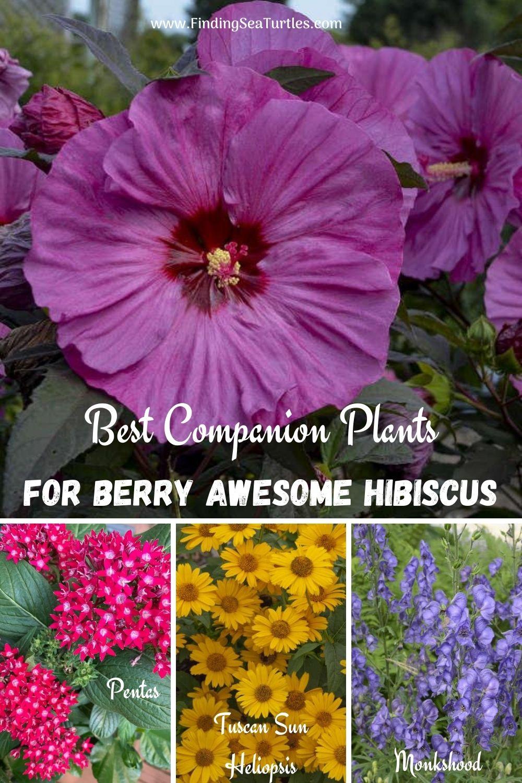 Best Companion Plants for Berry Awesome Hibiscus #BeeFriendly #AttractsButterflies #Pollinators #GardeningforPollinators #OrganicGardening #SummerificWeek #SummerificHibiscus #WaltersGardens