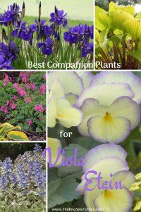 Grow Viola Etain Best Companion Plants for Viola Etain #Viola #ViolaEtain #AttractsButterflies #Pollinators #GardeningforPollinators #OrganicGardening #HowtoGrowViola #WaltersGardens