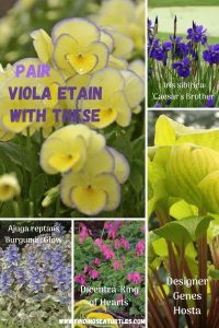 Grow Viola Etain Pair Viola Etain with These #Viola #ViolaEtain #AttractsButterflies #Pollinators #GardeningforPollinators #OrganicGardening #HowtoGrowViola #WaltersGardens