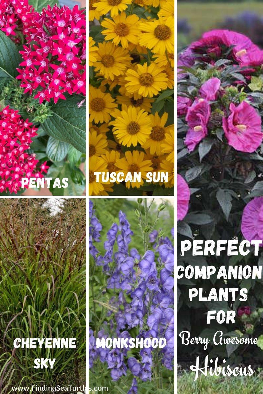 Perfect Companion Plants for Berry Awesome Hibiscus #BeeFriendly #AttractsButterflies #Pollinators #GardeningforPollinators #OrganicGardening #SummerificWeek #SummerificHibiscus #WaltersGardens