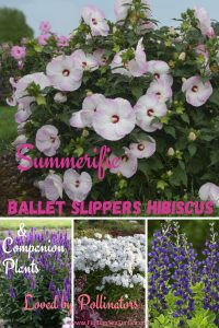 Summerific Ballet Slippers Hibiscus Companion Plants loved by pollinators #Hummingbirds #Pollinators #AttractHummingbirds #Gardeningfor Pollinators #OrganicGardening #SummerificWeek #SummerificHibiscus #WaltersGardens