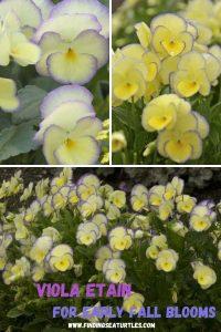 Grow Viola Etain Viola Etain for Early Fall Blooms #Viola #ViolaEtain #AttractsButterflies #Pollinators #GardeningforPollinators #OrganicGardening #HowtoGrowViola #WaltersGardens