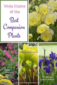 Grow Viola Etain Viola Etains and the Best Companion Plants #Viola #ViolaEtain #AttractsButterflies #Pollinators #GardeningforPollinators #OrganicGardening #HowtoGrowViola #WaltersGardens