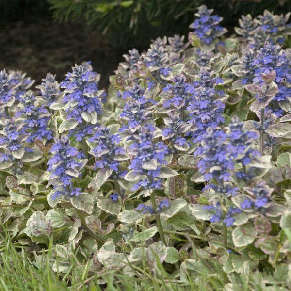 Grow Viola Etain Ajuga reptans Burgundy Glow #Viola #ViolaEtain #AttractsButterflies #Pollinators #GardeningforPollinators #OrganicGardening #HowtoGrowViola #WaltersGardens