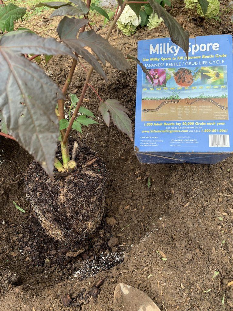 Grow Berry Awesome Hibiscus Soil Preparation #BeeFriendly #AttractsButterflies #Pollinators #GardeningforPollinators #OrganicGardening #SummerificWeek #SummerificHibiscus #WaltersGardens