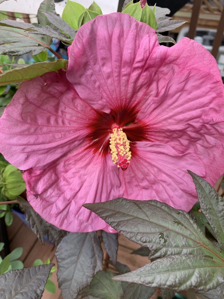 Perennial of the Year award Berry Awesome Bloom #BeeFriendly #AttractsButterflies #Pollinators #GardeningforPollinators #OrganicGardening #SummerificWeek #SummerificHibiscus #WaltersGardens