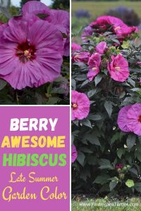 Berry Awesome Hibiscus Late Summer Garden Color #Hummingbirds #Pollinators #AttractHummingbirds #Gardeningfor Pollinators #OrganicGardening #SummerificWeek #SummerificHibiscus #WaltersGardens