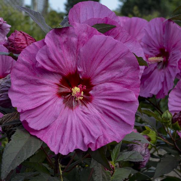 A Pollinator Favorite Berry Awesome Hibiscus #BeeFriendly #AttractsButterflies #Pollinators #GardeningforPollinators #OrganicGardening #SummerificWeek #SummerificHibiscus #WaltersGardens