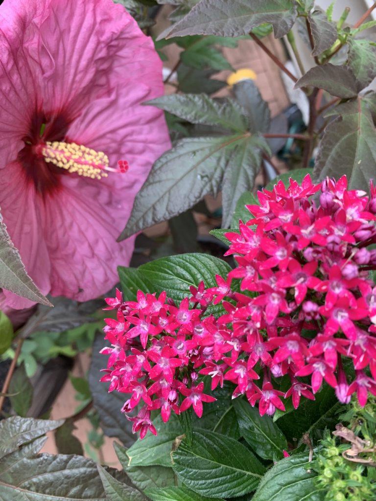 Grow Berry Awesome Hibiscus with Pentas #BeeFriendly #AttractsButterflies #Pollinators #GardeningforPollinators #OrganicGardening #SummerificWeek #SummerificHibiscus #WaltersGardens