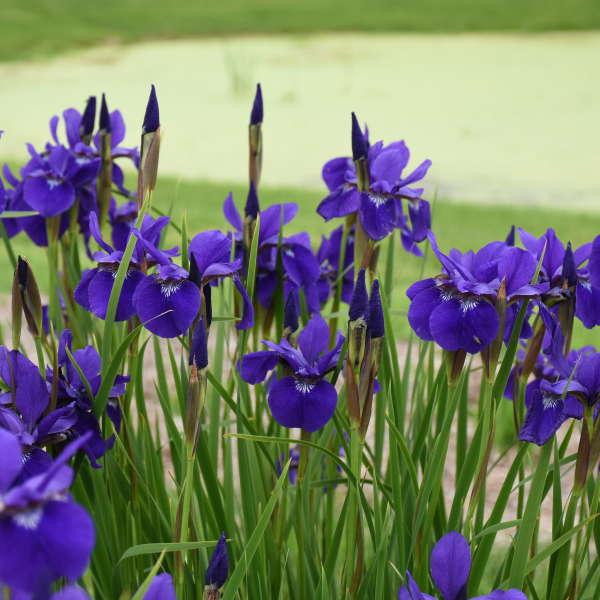 Grow Viola Etain Caesar's Brother Iris sibirica #Viola #ViolaEtain #AttractsButterflies #Pollinators #GardeningforPollinators #OrganicGardening #HowtoGrowViola #WaltersGardens