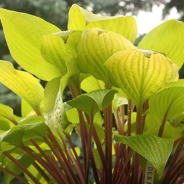 Companion Plant for Violets Designer Genes Hosta #Viola #ViolaEtain #AttractsButterflies #Pollinators #GardeningforPollinators #OrganicGardening #HowtoGrowViola #WaltersGardens