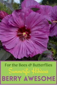 For the Bees & Butterflies Summerific Hibiscus #Hummingbirds #Pollinators #AttractHummingbirds #Gardeningfor Pollinators #OrganicGardening #SummerificWeek #SummerificHibiscus #WaltersGardens