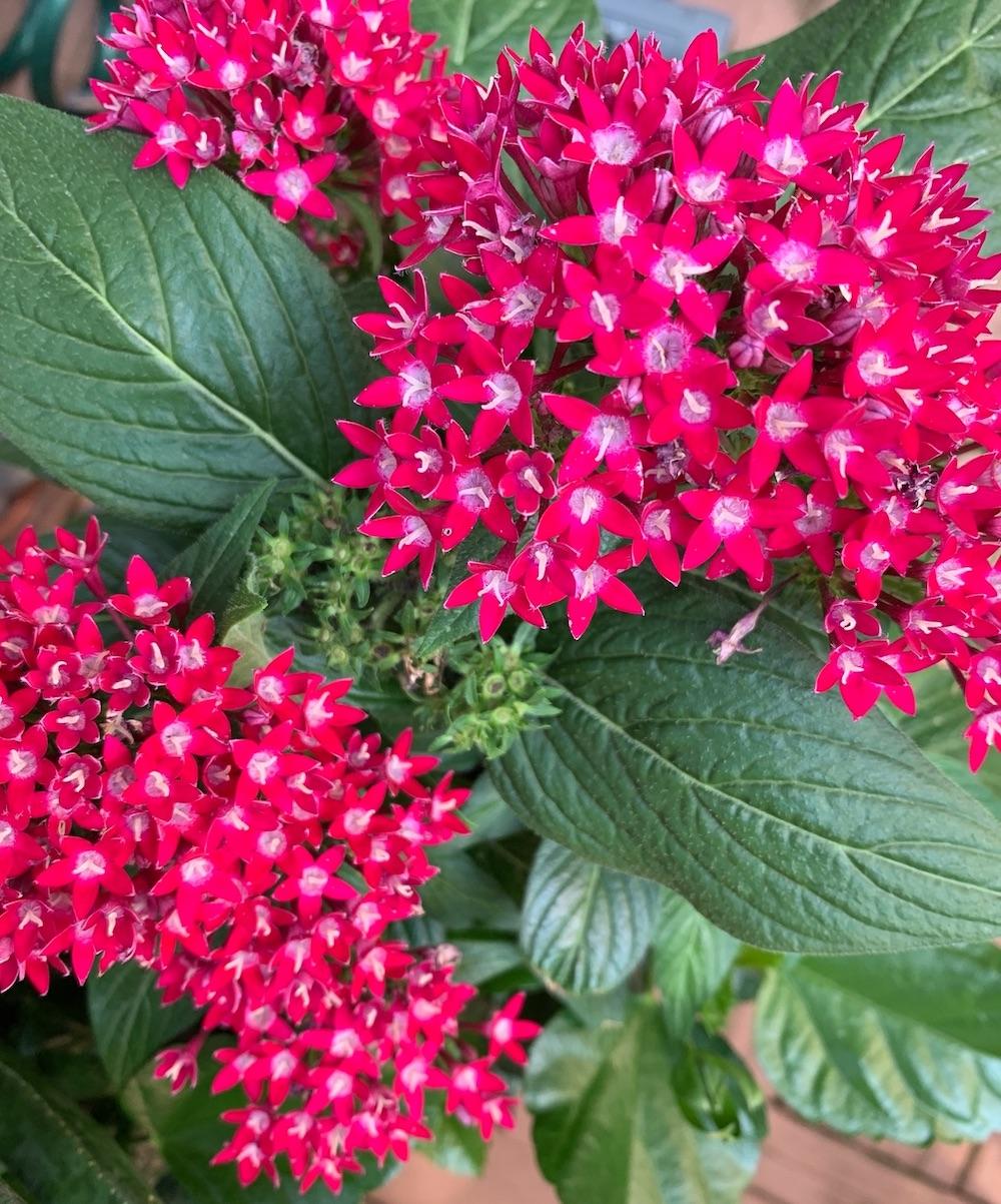 Pollinator Friendly Fuchsia Pentas #BeeFriendly #AttractsButterflies #Pollinators #GardeningforPollinators #Gardening #SummerificHibiscus #BerryAwesomeHibiscus