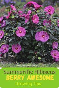 Summerific Hibiscus Berry Awesome Growing Tips #BeeFriendly #AttractsButterflies #Pollinators #GardeningforPollinators #OrganicGardening #SummerificWeek #SummerificHibiscus #WaltersGardens