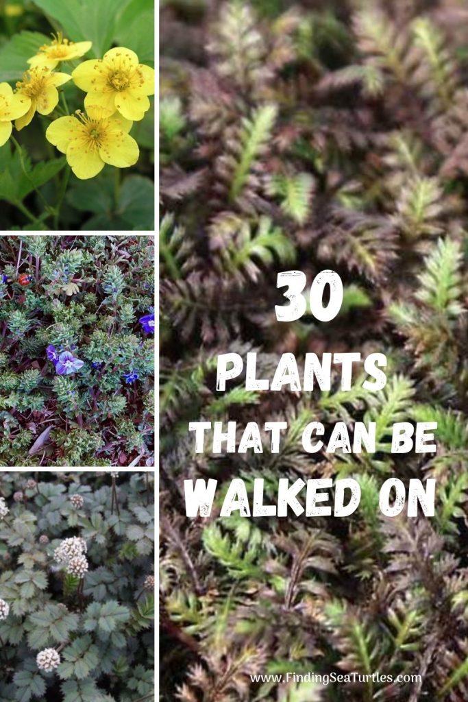 30 PLANTS that can be Walked On #FootTrafficPlants #LowGrowingPlants #FootTrafficTolerant #Gardening #PlantstoWalkOn #LawnSubstitute