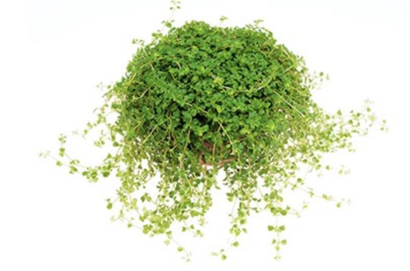 For Warmer Climates Baby's Tears or Soleirolia soleirolii #FootTrafficPlants #LowGrowingPlants #FootTrafficTolerant #Gardening #PlantstoWalkOn #LawnSubstitute