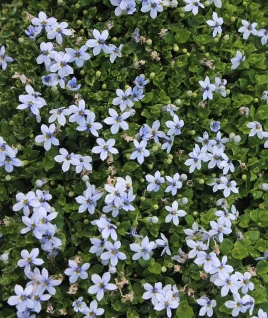 Use in Open Woodland Garden Blue Star Creeper #FootTrafficPlants #LowGrowingPlants #FootTrafficTolerant #Gardening #PlantstoWalkOn #LawnSubstitute