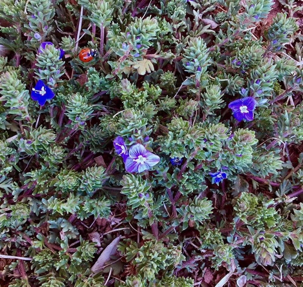 Plants that Tolerate Foot Traffic Blue Woolly Veronica #FootTrafficPlants #LowGrowingPlants #FootTrafficTolerant #Gardening #PlantstoWalkOn #LawnSubstitute