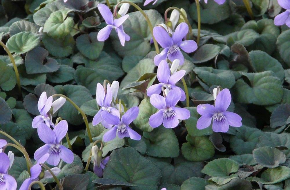 Shade Loving Labrador Violet #FootTrafficPlants #LowGrowingPlants #FootTrafficTolerant #Gardening #PlantstoWalkOn #LawnSubstitute