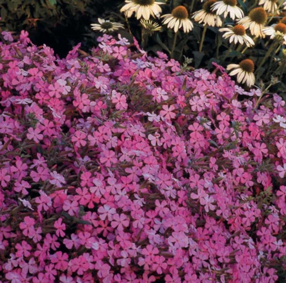 Plants that Tolerate Foot Traffic and Attract Hummingbirds Max Frei Saponaria #FootTrafficPlants #LowGrowingPlants #FootTrafficTolerant #Gardening #PlantstoWalkOn #LawnSubstitute