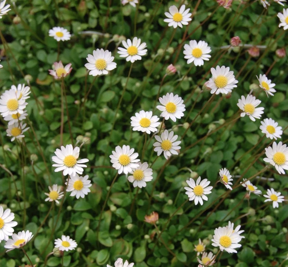 Shade Tolerant Miniature Mat Daisy #FootTrafficPlants #LowGrowingPlants #FootTrafficTolerant #Gardening #PlantstoWalkOn #LawnSubstitute