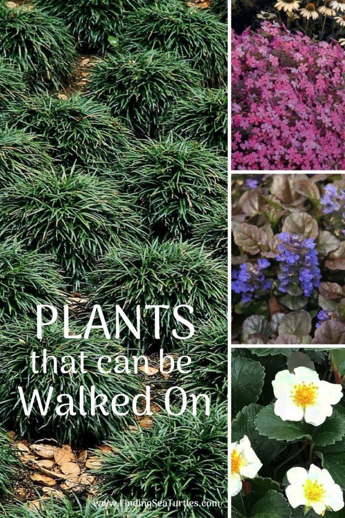 PLANTS that can be Walked On #FootTrafficPlants #LowGrowingPlants #FootTrafficTolerant #Gardening #PlantstoWalkOn #LawnSubstitute