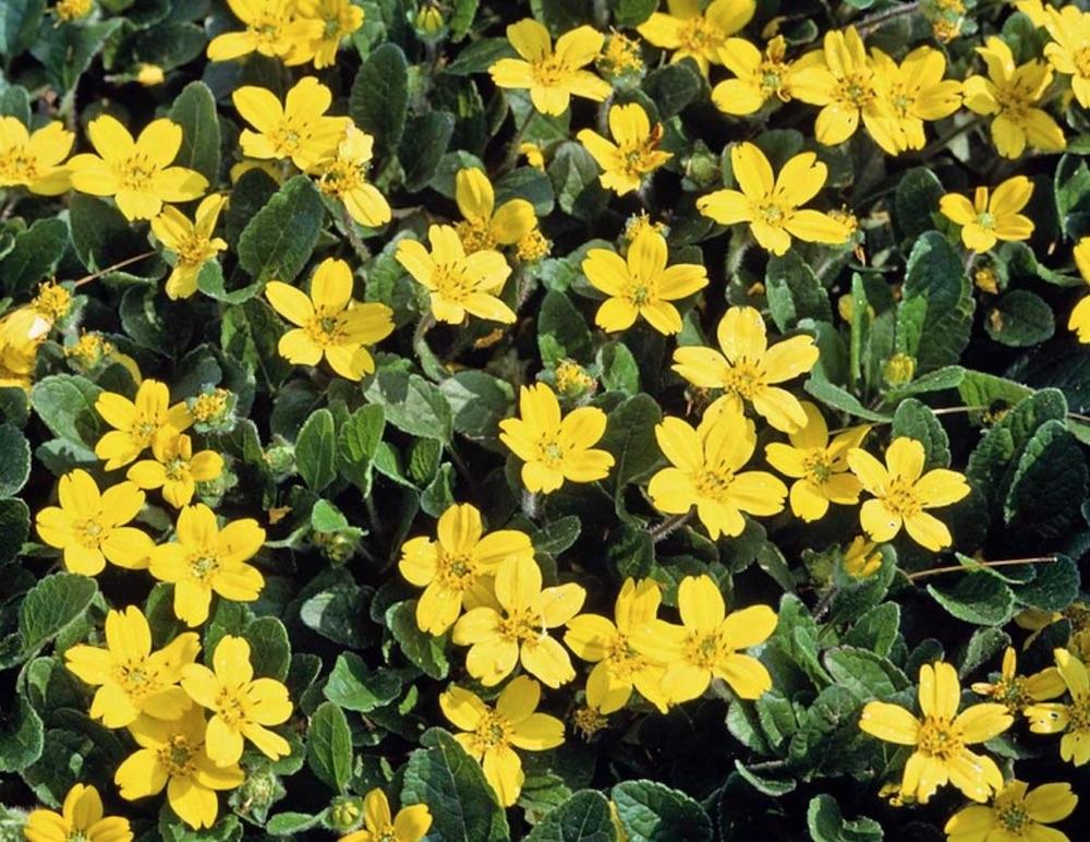 Long Blooming Pierre Golden Star #FootTrafficPlants #LowGrowingPlants #FootTrafficTolerant #Gardening #PlantstoWalkOn #LawnSubstitute
