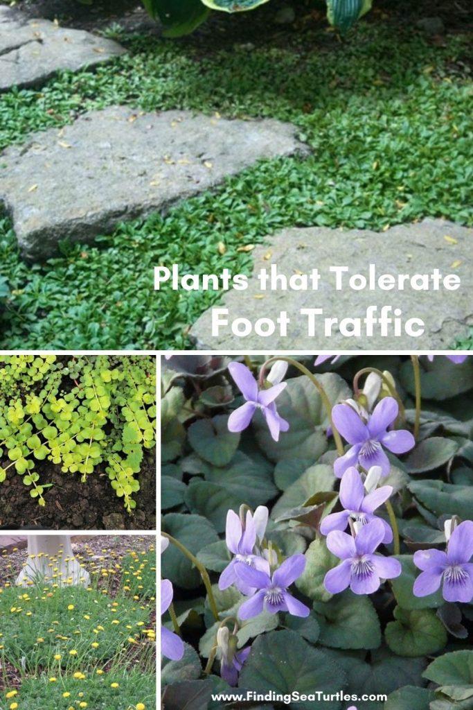 Plants that Tolerate Foot Traffic #FootTrafficPlants #LowGrowingPlants #FootTrafficTolerant #Gardening #PlantstoWalkOn #LawnSubstitute