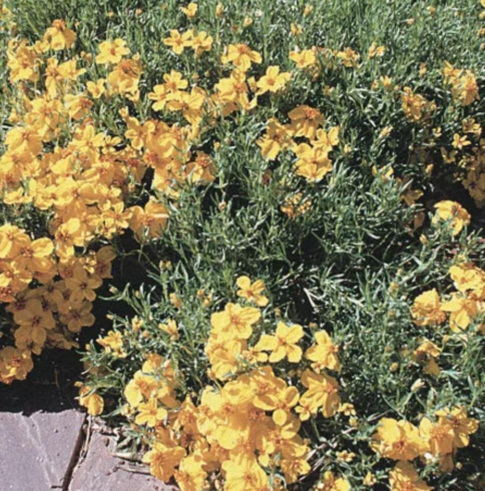 Attracts Butterflies Prairie Zinnia #FootTrafficPlants #LowGrowingPlants #FootTrafficTolerant #Gardening #PlantstoWalkOn #LawnSubstitute