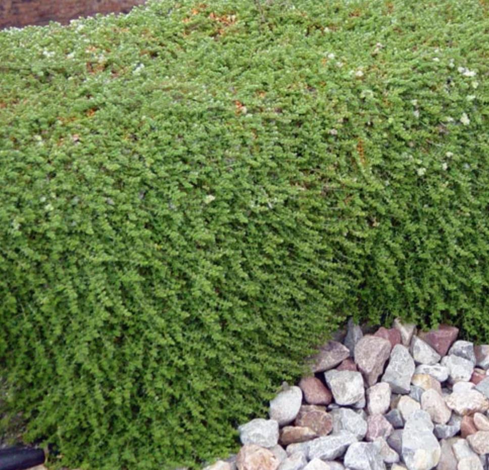 Drought Tolerant Silver Nailwort #FootTrafficPlants #LowGrowingPlants #FootTrafficTolerant #Gardening #PlantstoWalkOn #LawnSubstitute