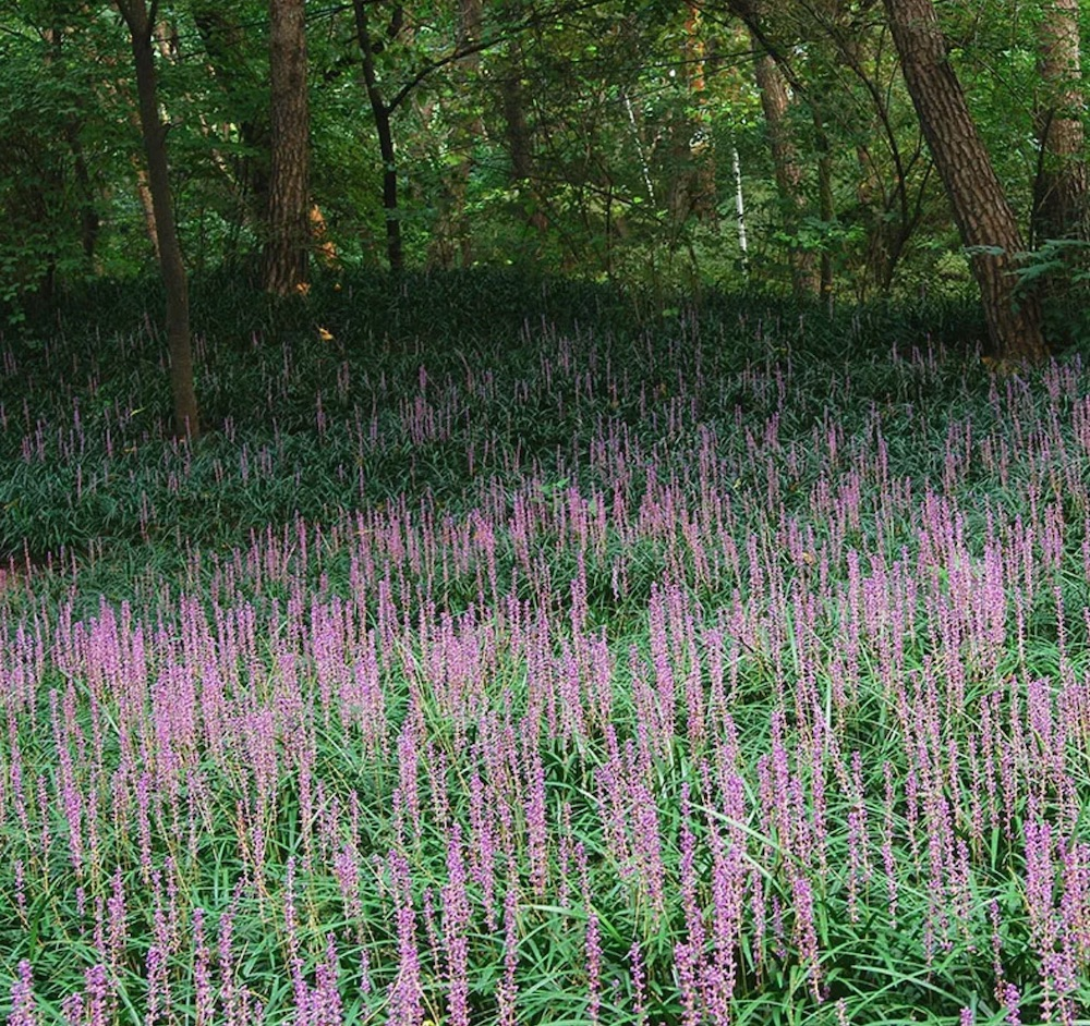Best Low Maintenance Lawn Alternatives Big Blue Liriope Grass #LawnSubstitute #Gardening #ReplaceYourGrass #NoMowGrassAlternative #GrassAlternatives #LawnAlternatives