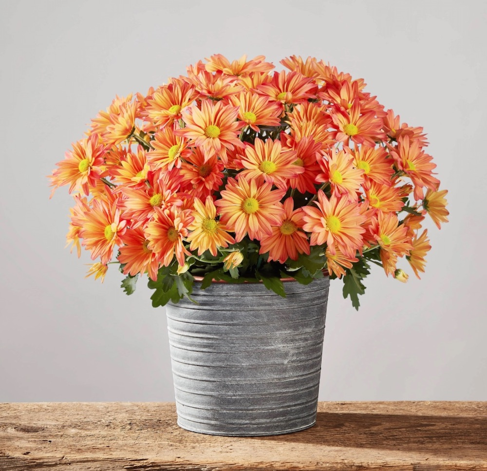 The Rustic Home Chrysanthemum Blooming Plant by Plants com #FreshFlowers #flowerdelivery #bouquets #OnlineFlowers #FlowersOnline #AutumnFlowers #FallFlowers #ThanksgivingFlowers