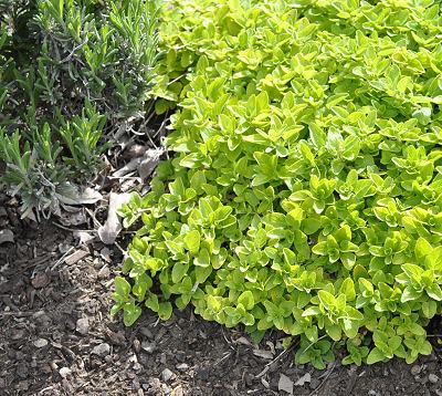 Light Mowing Landscape Creeping Golden Marjoram #LawnSubstitute #Gardening #ReplaceYourGrass #NoMowGrassAlternative #GrassAlternatives #LawnAlternatives