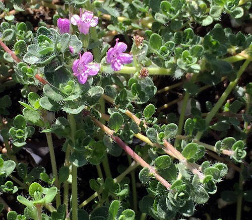 Low Water Needs Creeping Pink Thyme #LawnSubstitute #Gardening #ReplaceYourGrass #NoMowGrassAlternative #GrassAlternatives #LawnAlternatives