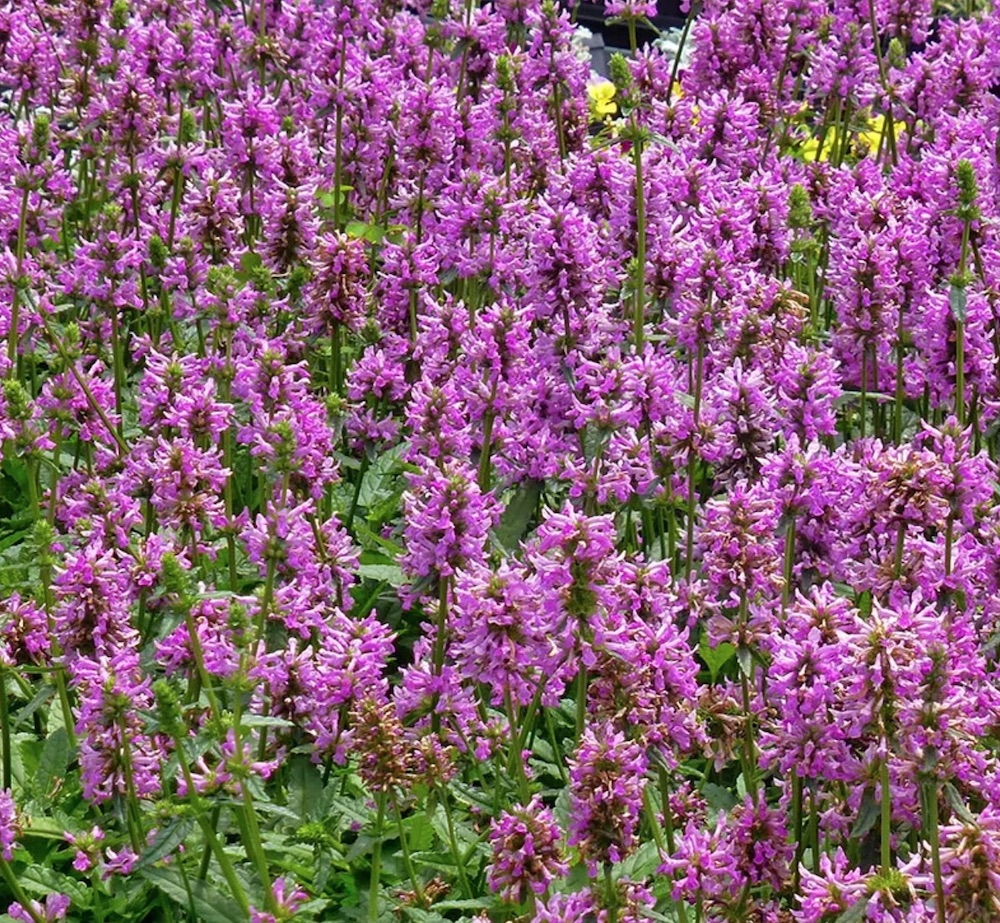 Less Mowing with Dwarf Pink Lamb's Ear #LawnSubstitute #Gardening #ReplaceYourGrass #NoMowGrassAlternative #GrassAlternatives #LawnAlternatives