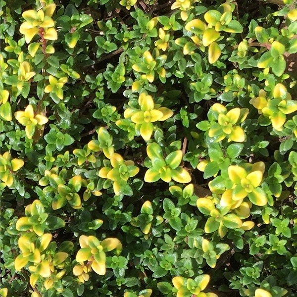 Butterfly Attracting Goldstream Thyme #LawnSubstitute #Gardening #ReplaceYourGrass #NoMowGrassAlternative #GrassAlternatives #LawnAlternatives