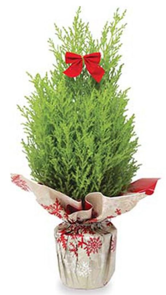 Merry Christmas Lemon Cypress Holiday Gift Tree by Burpee #FreshMiniTree #MiniChristmasTree #TabletopChristmasTree #OnlineFlowers #ChristmasTrees #ChristmasTabletopTree